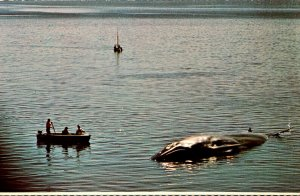 Massachusetts Cape Cod National Seashore 61 Foot Finback Whale Starnded In We...