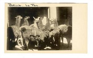 RP, Serial # H-588 Bolivia - La Paz, Llamas In The Courtyard Of A Hotel, 1900...