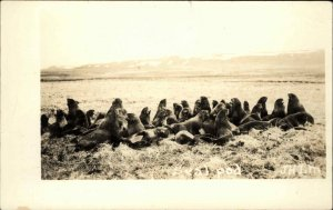 Group or Pod of Seals JHLM Real Photo Postcard #2