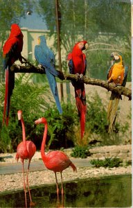 Florida St Petersburg Sunken Gardens Macaws and Flamingos In The Aviary 1969