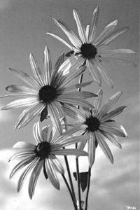 Sonnensterne Rudbeckia Flowers Fleurs Blumen