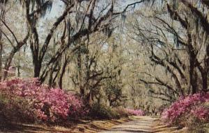 Louisiana New Orleans Moss Draped Oaks And Azakeas
