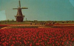 Holland, MI, De Zwann (The Swan) Windmill, Tulip Field,1970 Chrome Postcard h983