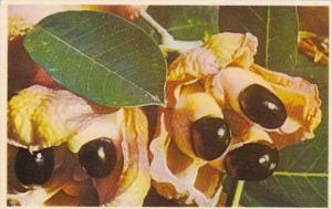 Jamaica Ackee Pods