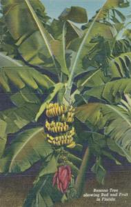Banana Tree showing Bud and Fruit in Florida - Linen