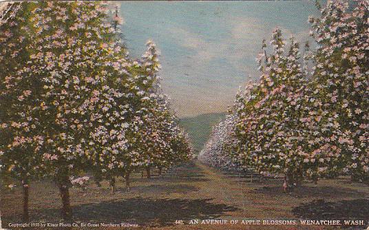 An Avenue of Apple Blossoms, Wenatchee, Washington, PU-1925