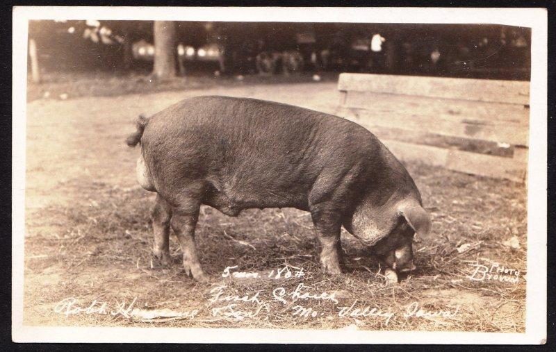 Pig RPPC - First Choice - Missouri Valley, Iowa - 5 mos 180#