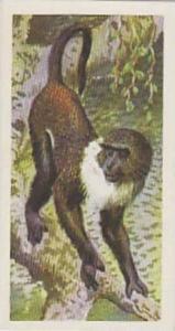Brooke Bond Tea Vintage Trade Card African Wildlife 1962 No 7 Sykes Monkey