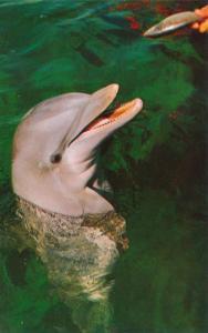 Smiling Face of Porpoise at Miami Seaquarium FL, Florida