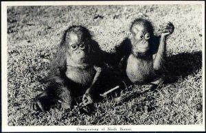 british north borneo, SABAH, Urang-Outang, ORANG UTANG (1950s) Real Photo