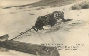 RPPC  OVANDO, MT Montana    ROCKY MT BADGER Trapped by Jay Covey 1920 Postcard