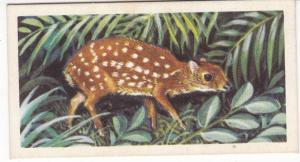 Trade Card Brooke Bond Tea Asian Wild Life No 37 Indian Chevrotain