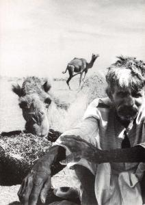 Postcard Bedouin Man with Camels in Desert, Photo by Ben Dray U55