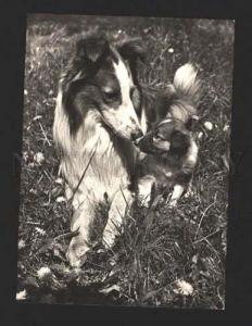 000822 Nice COLLIE and PUPPY in grass Old photo PC