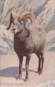 Big Horn Mountain Sheep New York Zoological Park 1925