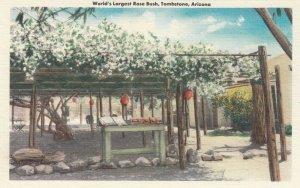 TOMBSTONE , Arizona, 30-40s; World's largest Rose Bush