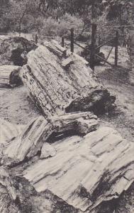Hollow Tree Petrified Redwood Forest Santa Rosa California Albertype