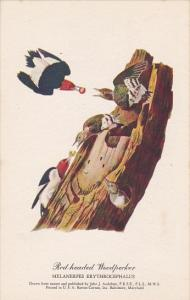 Red-headed Woodpecker Drawn By John J Audubon