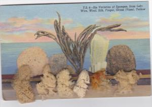 Attached real Sponges , TARPON SPRINGS , Florida , 30-40s