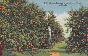 Picking Oranges At An Orange Grove In Florida