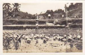 RP: Ducks that never leave the pole , Bali , Indonesia , 20-30s