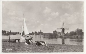 RP: Cows ; GROUW , Netherlands , 1958