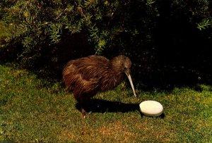 New Zealand The Kiwi Native Flightless Bird With Egg