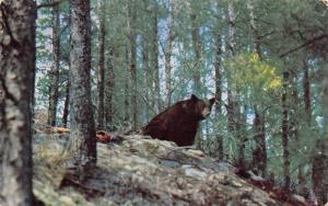 Minnesota~A Bear In The Forest Minnesota North Woods~1960 Postcard