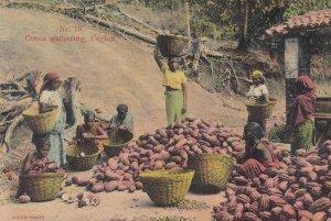 Cocoa gathering , CEYLON , 00-10s