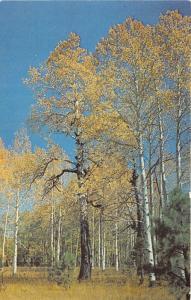 Flagstaff Arizona~Majestic Aspen Trees on San Francisco Peaks~1950s Postcard