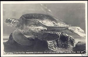 Marineland Flordia, Grumpy the TURTLE TORTOISE 50s RPPC