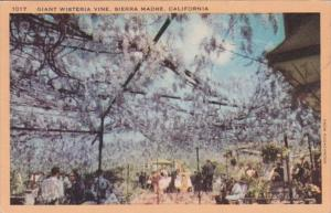 California Sierra Madre Giant Wisteria Vine  1945