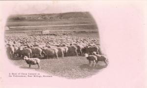 Sheep on the Yellowstone, near BILLINGS , Montana , 1890s