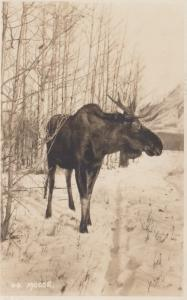RP: Moose , Banff Alberta , Canada , 10-20s ; Byron Harman Photo Postcard