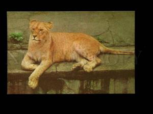 135947 Riga ZOO Lion Old Color PHOTO PC