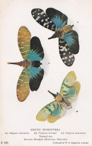 Fulgora Intricata Lantern Bug Exotic Homoptera Insect Postcard