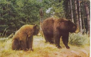 PRINCE GEORGE, British Columbia, Canada, PU-1957; Western Brown Bears