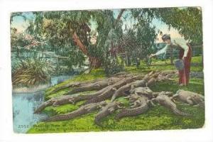 Feeding Time, Alligator Farm, Los Angeles, California, PU-1908