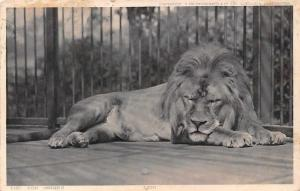 Zoological London Zoo Series, Lion sleeping in Cage, Wild Animal, Fauna 1904