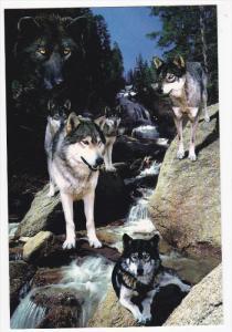 Wolf Hybrid, Waterfall, 50-70´s