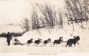 RP: YUKON, Canada , 1920s-30s; A White Horse Yukon Dog Team