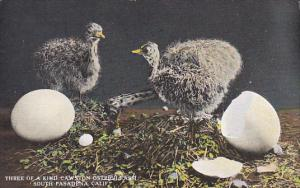Young Ostriches Hatching Three Of A Kind Cawston Ostrich Farm South Pasadena ...