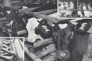 ASPCA , 60-80s Prevention of Cruelty to Animals , Cows
