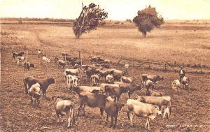 Fiji Oceania Jersey Cattle in Fiji Raphael Tuck Postcard