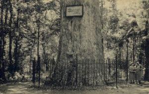 Giant Cypress Tree Orlando FL Unused