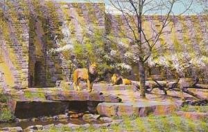 Pennsylvania Philadelphia Zoological Garden Lions In The Barless Grotto