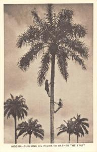 Nigeria, Climbing Oil Palms to Gather the Fruit