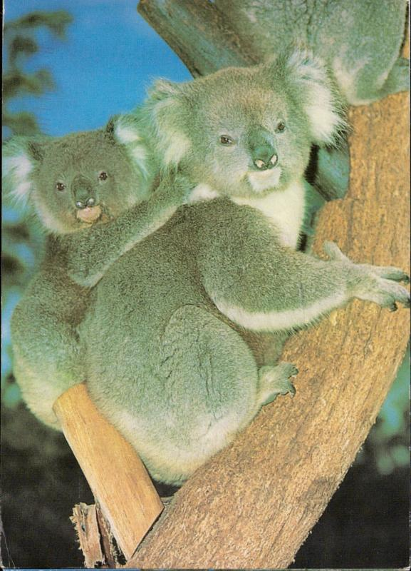 Koala and baby Australia animal topic
