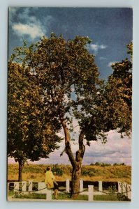 Vancouver- Canada Oldest Living Apple Tree Vancouver Army Barrack ChromePostcard
