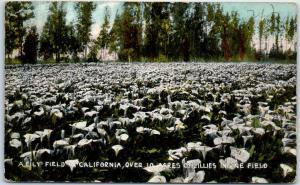 Vintage California Postcard A Lily Field in California, Over 10 Acres 1915